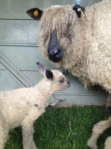 Wes lamb