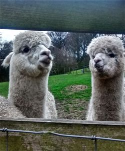 Alpaca with teeth